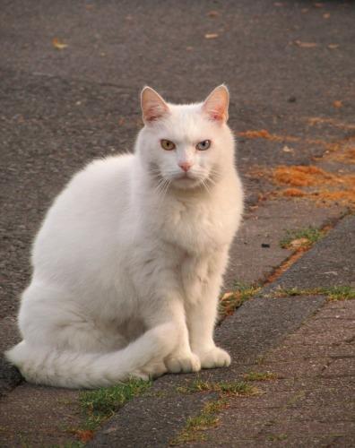 Gato-blanco-de-ojos-bicolor